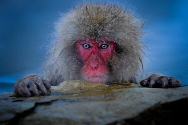 Japanese macaque in hot spa Primate,monkey,close-up,portrait,eyes,geothermal,hot spring,geology,leisure,warm,warming,thermoregulation,mammal,mammalia,peaceful,vertebrate,wildlife,Mammalia,Mammals,Old World Monkeys,Cercopithecida