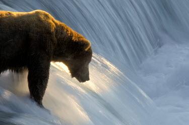 Brown bear fishing in waterfall Action,bears,behaviour,carnivores,swimming,water,waterfall,fishing,freshwater,grizzly bear,hunting,mammals,predation,North America,USA,Carnivores,Carnivora,Bears,Ursidae,Chordates,Chordata,Mammalia,Ma