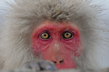 Japanese macaque close-up Primate,monkey,close-up,portrait,eyes,geothermal,warm,warming,thermoregulation,hot spring,geology,leisure,face,mammal,mammalia,peaceful,vertebrate,wildlife,Mammalia,Mammals,Old World Monkeys,Cercopith