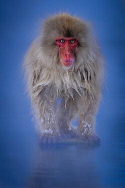 Japanese macaque portrait Primate,monkey,close-up,portrait,eyes,geothermal,warm,warming,thermoregulation,walking,snow,blue,hot spring,geology,leisure,face,mammal,mammalia,peaceful,vertebrate,wildlife,Mammalia,Mammals,Old World