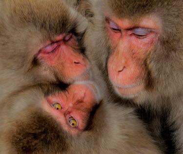 Group of Japanese macaques Primate,monkey,close-up,portrait,huddle,warm,warming,thermoregulation,warmth,sleepy,sleeping,peaceful,eyes,geothermal,hot spring,geology,leisure,mammal,mammalia,vertebrate,wildlife,Mammalia,Mammals,Ol