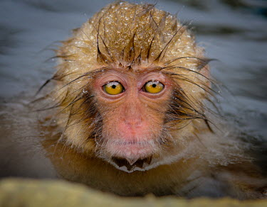Young Japanese macaque in hot spa Primate,monkey,close-up,portrait,eyes,geothermal,warm,warming,thermoregulation,hot spring,geology,leisure,mammal,mammalia,peaceful,vertebrate,wildlife,baby,cute,wet,Mammalia,Mammals,Old World Monkeys,