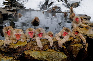 Group of Japanese macaques in hot spa Primate,monkey,close-up,portrait,huddle,warmth,sleepy,warm,warming,thermoregulation,sleeping,peaceful,relaxing,spa,geothermal,hot spring,geology,leisure,mammal,mammalia,vertebrate,wildlife,snow,hot,co