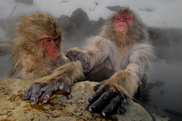 Japanese macaques allogrooming in hot spa Primate,monkey,close-up,portrait,relaxing,warm,warming,thermoregulation,allogrooming,grooming,hierarchy,funny,hands,snow,rocks,geothermal,hot spring,geology,leisure,mammal,mammalia,peaceful,vertebrate