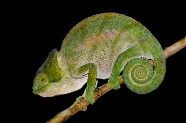 Chameleon on branch Green,perching,lizard,reptile,reptilia,vertebrate,profile,portrait,close-up,dark