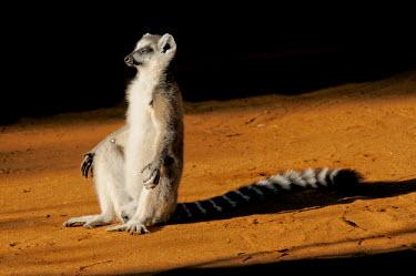 Ring-taied lemur basking in sunshine Lemurs,endangered,close-up,portrait,primates,mammals,mammalia,funny,humourous,sitting,sunbathing,sunny,sleepy,male,basking,Chordates,Chordata,Lemuridae,Mammalia,Mammals,Primates,Animalia,Appendix I,Ne