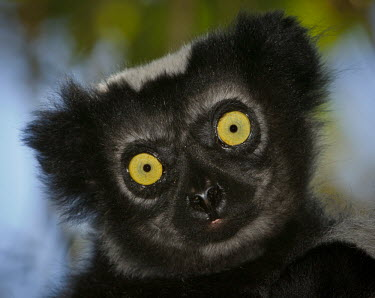 Indri close-up Lemurs,endangered,close-up,portrait,primates,mammals,mammalia,face,eyes,cute,Indridae,Mammalia,Mammals,Chordates,Chordata,Primates,Rainforest,Terrestrial,Herbivorous,Indriidae,Animalia,Endangered,indr