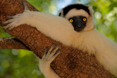 Verreaux's sifaka clinging to branch Lemurs,endangered,close-up,portrait,primates,mammals,mammalia,climbing,in tree,resting,hanging,gripping,Chordates,Chordata,Indridae,Primates,Mammalia,Mammals,Animalia,Herbivorous,Appendix I,verreauxi,