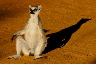 Ring-taied lemur basking in sunshine Lemurs,endangered,close-up,portrait,profile,primates,mammals,mammalia,funny,humourous,sitting,sunbathing,sunny,sleepy,male,basking,Chordates,Chordata,Lemuridae,Mammalia,Mammals,Primates,Animalia,Appen