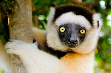 Verreaux's sifaka clinging to branch Lemurs,endangered,close-up,portrait,primates,mammals,mammalia,climbing,in tree,hanging,gripping,face,eyes,Chordates,Chordata,Indridae,Primates,Mammalia,Mammals,Animalia,Herbivorous,Appendix I,verreaux