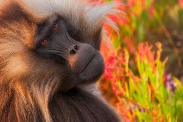 Gelada portrait Primates,primate,monkey,baboon,colourful,mammals,mammalia,close-up,portrait,looking at camera,face,eyes,Chordates,Chordata,Old World Monkeys,Cercopithecidae,Mammalia,Mammals,Grassland,Animalia,Theropi