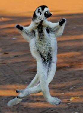 Verreaux's sifaka 'dancing' Lemurs,endangered,endemic,jumping,dancing,funny,humourous,mid air,mammal,mammals,primate,primates,running,action,behaviour,Chordates,Chordata,Indridae,Primates,Mammalia,Mammals,Animalia,Herbivorous,Ap