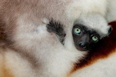 Young Verreaux's sifaka clinging to mother Lemurs,endangered,close-up,baby,cute,parent,mother,portrait,primates,mammals,mammalia,Chordates,Chordata,Indridae,Primates,Mammalia,Mammals,Animalia,Herbivorous,Appendix I,verreauxi,Tropical,Vulnerabl