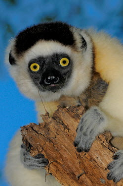 Verreaux's sifaka clinging to branch Lemurs,endangered,close-up,portrait,primates,mammals,mammalia,climbing,in tree,hanging,gripping,Chordates,Chordata,Indridae,Primates,Mammalia,Mammals,Animalia,Herbivorous,Appendix I,verreauxi,Tropical