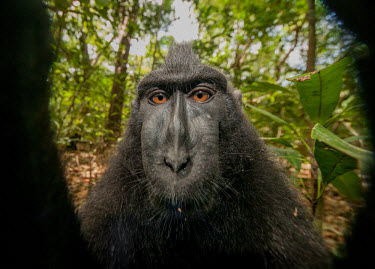 Crested black macaque close-up Primates,primate,critically endangered,close-up,face,eyes,dark,black,in habitat,portrait,monkey,mammal,mammalia,looking at camera,head shot,funny,selfie,humourous,Mammalia,Mammals,Chordates,Chordata,O