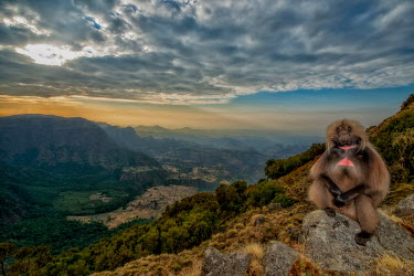 Gelada on mountainside Primates,primate,monkey,baboon,colourful,beautiful,landscape,mountain,sky,clouds,mammals,mammalia,Chordates,Chordata,Old World Monkeys,Cercopithecidae,Mammalia,Mammals,Grassland,Animalia,Theropithecus
