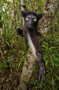 Lemur hanging from tree Lemurs,endangered,close-up,reaching,hand,portrait,primates,mammals,mammalia,climbing,in tree,hanging,gripping,cute