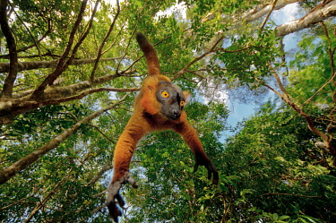 Red ruffed lemur hanging from tree Lemurs,endangered,close-up,upside down,portrait,primates,mammals,mammalia,climbing,in tree,hanging,gripping,Primates,Chordates,Chordata,Mammalia,Mammals,Lemuridae,Varecia,Arboreal,rubra,Endangered,For