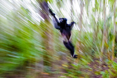 Milne-Edwards sifaka jumping on ground Lemurs,endangered,movement,action,jumping,dancing,blurr,primates,mammals,mammalia,close-up,face,eyes,cute,Indridae,Chordates,Chordata,Primates,Mammalia,Mammals,edwardsi,Arboreal,Endangered,Africa,Trop