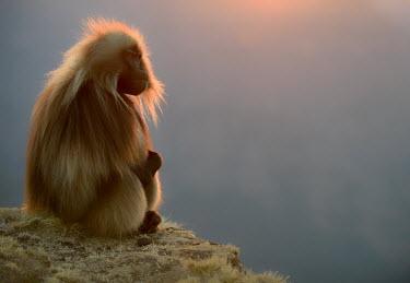Gelada sat on rock Primates,primate,monkey,baboon,sitting,mammals,mammalia,close-up,portrait,full body,sun,Chordates,Chordata,Old World Monkeys,Cercopithecidae,Mammalia,Mammals,Grassland,Animalia,Theropithecus,Herbivoro
