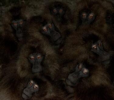 Group of geladas Primates,primate,monkey,baboon,mammals,mammalia,close-up,group,dark,eyes,huddle,huddling,Chordates,Chordata,Old World Monkeys,Cercopithecidae,Mammalia,Mammals,Grassland,Animalia,Theropithecus,Herbivor