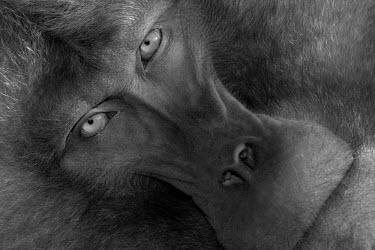 Black and white gelada Primates,primate,monkey,baboon,mammals,mammalia,close-up,portrait,looking at camera,face,eyes,black and white,Chordates,Chordata,Old World Monkeys,Cercopithecidae,Mammalia,Mammals,Grassland,Animalia,T