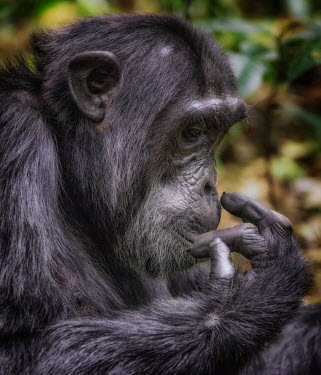 Chimpanzee calling Ape,great ape,human-like,mammals,primate,primates,calling,behaviour,action,portrait,endangered,head,close-up,face,eyes,Hominids,Hominidae,Chordates,Chordata,Mammalia,Mammals,Primates,Endangered,Africa