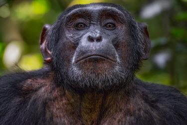 Chimpanzee profile Ape,great ape,human-like,mammals,primate,primates,calling,behaviour,action,portrait,endangered,head,close-up,face,eyes,hand,Hominids,Hominidae,Chordates,Chordata,Mammalia,Mammals,Primates,Endangered,A