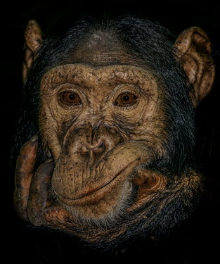 Chimpanzee looking up Ape,great ape,human-like,mammals,primate,primates,rainforest,on ground,sunny,in habitat,looking up,sitting,Hominids,Hominidae,Chordates,Chordata,Mammalia,Mammals,Primates,Endangered,Africa,Animalia,Tr