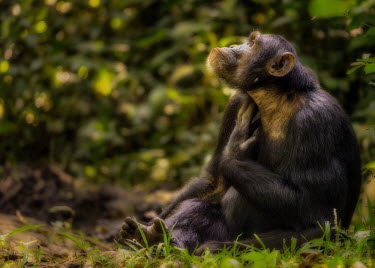 Chimpanzee portrait Ape,great ape,human-like,mammals,primate,primates,rainforest,on ground,sunny,in habitat,looking into camera,sitting,Hominids,Hominidae,Chordates,Chordata,Mammalia,Mammals,Primates,Endangered,Africa,An