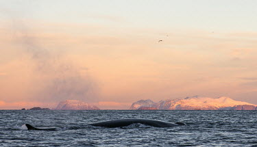 Fin whale at surface of water Arctic,blowing,surfacing,breathing,behaviour,action,cetaceans,cetacean,endangered,Europe,mountains,cold,respiration,seascape,coast,coastal,cold water,dorsal fin,surface,ocean,fin,Mammalia,Mammals,Chor