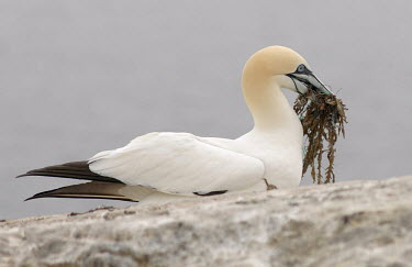 Gannet carrying nest material including plastic Birds,bird,aves,nesting,behaviour,carrying,seaweed,sulidae,holding in bill,bill,plastic,conservation threats,threats,microplastic,litter,pollution,Aves,Chordates,Chordata,Ciconiiformes,Herons Ibises S