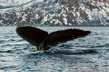 Humpback whale tail with scarring Baleen,calm,cetacean,mammal,fluke,flukes,tail,marine,peaceful,surface,diving,movement,scar,injured. Injury,behaviour,Rorquals,Balaenopteridae,Cetacea,Whales, Dolphins, and Porpoises,Chordates,Chordata