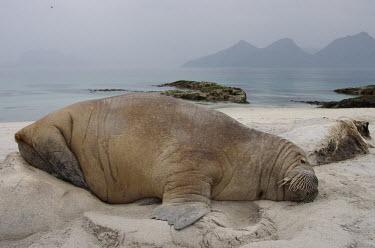 Walrus asleep on beach Arctic,sleeping,behaviour,carnivores,marine mammals,mammals,pinnepeds,coast,sleepy,mammalia,beach,sand,shore,shoreline,coastal,Carnivores,Carnivora,Chordates,Chordata,Walruses,Odobenidae,Mammalia,Mamm