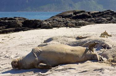 Walrus on beach Arctic,sleeping,behaviour,carnivores,marine mammals,mammals,pinnepeds,coast,sleepy,mammalia,beach,sand,shore,shoreline,coastal,Carnivores,Carnivora,Chordates,Chordata,Walruses,Odobenidae,Mammalia,Mamm