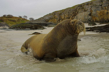 Walrus walking into sea Arctic,pinnepeds,movement,waves,beach,coast,sea,marine,water,whiskers,rocky shore,rocky,sand,ocean,Carnivores,Carnivora,Chordates,Chordata,Walruses,Odobenidae,Mammalia,Mammals,Ocean,Snow and ice,Atlan