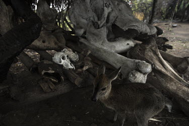 Baby duiker surrounded by poached elephant remains Africa,ivory,poaching,skeleton,poacher,conservation threats,animal trade,illegal,conservation issue,death,crime,men,tusk,tusks,wildlife crime,wildlife trade,bones,skulls,Elephants,Elephantidae,Chordat