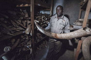 Government Ivory Stock pile rooms Africa,ivory,poaching,conservation threats,animal trade,illegal,conservation issue,death,crime,tusk,tusks,wildlife crime,wildlife trade,confiscated,Elephants,Elephantidae,Chordates,Chordata,Elephants,