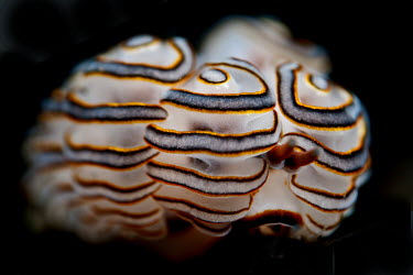 White, orange and grey nudibranch Sea slug,bizarre,weird,colourful,gastropod,gastropoda,invertebrate,mollusc,marine,mollusca,plain background,saltwater,underwater,alien,strange,unusual