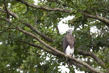 Grey-headed fish eagle Uda Walawe National Park, Sri Lanka Avifauna,Birds,Forest,Sri Lanka,bird of prey,perching,perched,perch,branch,rear view,birds,aves,Aves,Ichthyophaga,Wetlands,Ponds and lakes,Animalia,Falconiformes,Asia,ichthyaetus,Flying,Near Threatene