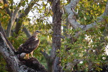 Grey-headed fish eagle Asia,Grey-headed Fish Eagle,Minneriya National Park,Sri Lanka,bird of prey,environment,forest,jungle,nature,place of interest,wildlife,birds,Aves,Ichthyophaga,Wetlands,Ponds and lakes,Animalia,Falconi