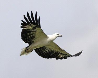 White-bellied sea-eagle bird,aves,in flight,flying,flight,wings,birds of prey,India,wildlife,feathers,Animalia,Falconiformes,Flying,Least Concern,Coastal,Mangrove,Aves,Estuary,Ponds and lakes,Urban,Haliaeetus,Australia,Accip