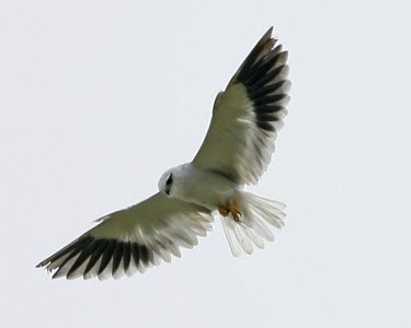 Black-shouldered kite bird,aves,nature,wildlife,flying,in flight,wings,Asia,flight,bird of prey,Accipitridae,Temperate,Flying,Falconiformes,Animalia,Appendix II,Africa,Carnivorous,Chordata,Least Concern,Elanus,Semi-desert,