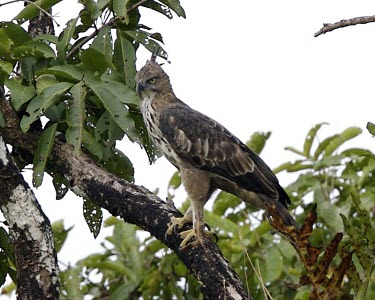 Changeable hawk-eagle in tree bird,aves,wildlife,nature,indian crested hawk eagle,birds of prey,animal,perching,perch,branch