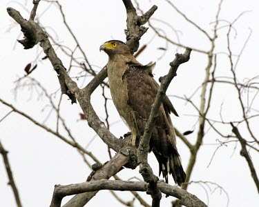 Crested serpent-eagle India,Assam,birds,aves,birds of prey,perching,perched,on branch,Agricultural,Least Concern,Falconiformes,IUCN Red List,CITES,Sub-tropical,Aves,Animalia,Terrestrial,Accipitridae,Flying,Forest,Appendix