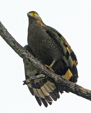 Crested serpent-eagle Birds,aves,perching,perched,perch,branch,birds of prey,wings,Agricultural,Least Concern,Falconiformes,IUCN Red List,CITES,Sub-tropical,Aves,Animalia,Terrestrial,Accipitridae,Flying,Forest,Appendix II,