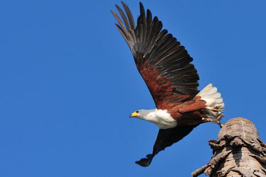African fish-eagle taking off from launch taking off,flying,eagles,birds of prey,action,flight,wings,behaviour,bird of prey,birds,aves,in flight,vertebrates,Chordates,Chordata,Aves,Birds,Accipitridae,Hawks, Eagles, Kites, Harriers,Ciconiiform