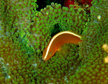 Orange anenomefish amongst anemone tentacles clownfish,anenome,protection,underwater,tropical,Yellow Clownfish,Yellow skunk clownfish,fish,marine,underwater photography,coral reef,vertebrates