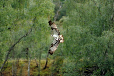 Osprey in flight flight,flying,bird of prey,birds,aves,vertebrates,action,wings,wingspan,Aves,Birds,Accipitridae,Hawks, Eagles, Kites, Harriers,Ciconiiformes,Herons Ibises Storks and Vultures,Chordates,Chordata,Ponds