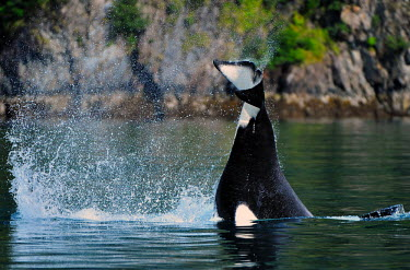Orca tail fluke killer whale,diving,tail,cetacean,cetacea,behaviour,fluke,mammal,mammals,marine,oceans,motion,movement,swimming,splash,vertebrate,endangered,dolphins,Chordates,Chordata,Cetacea,Whales, Dolphins, and P